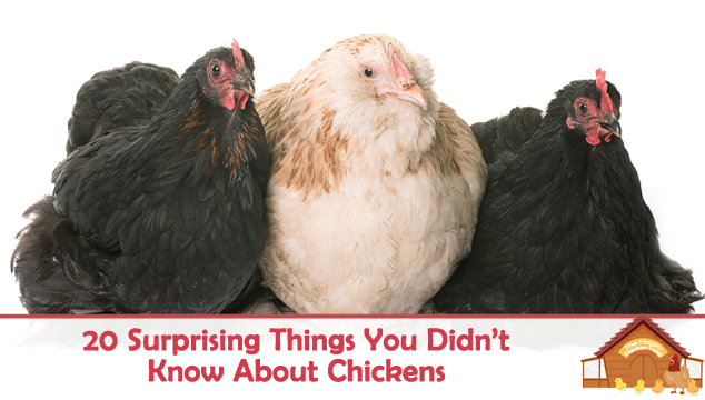 20 Surprising Things You Didnt Know About Chickens