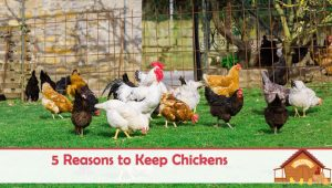 5 Reasons to Keep Chickens