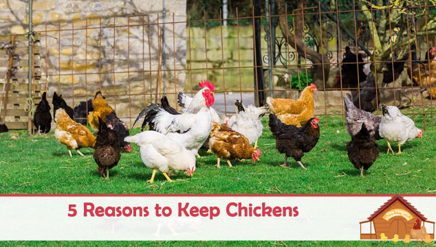 5-Reasons-to-Keep-Chickens-Blog-Cover