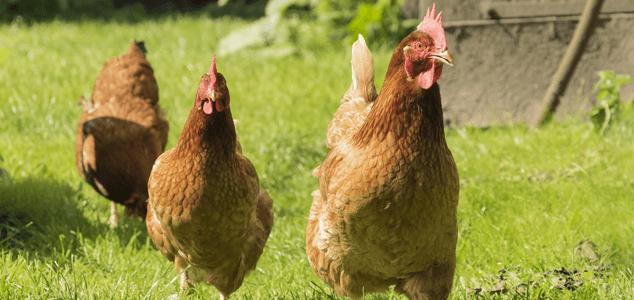 养鸡场投资