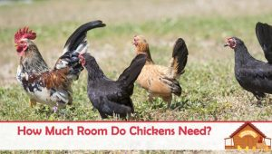 How Much Room Do Chickens Need?