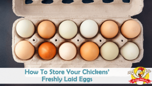 How To Store Your Chickens' Freshly Laid Eggs