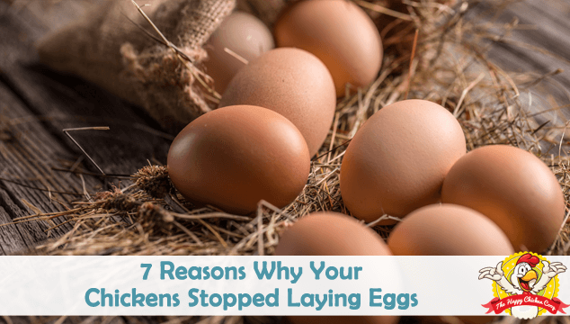7 Reasons Why Your Chickens Stopped Laying Eggs Blog Cover