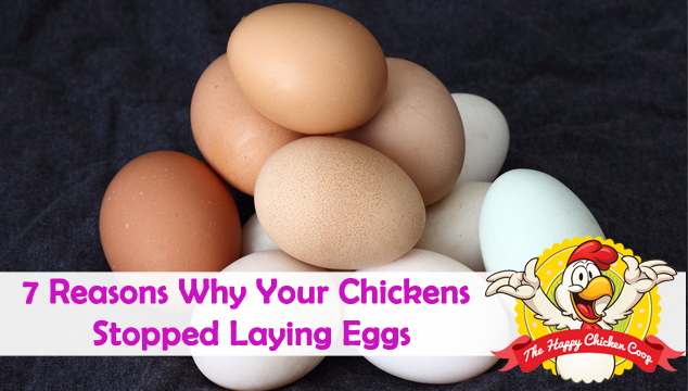 7 Reasons Why Your Chickens Stopped Laying Eggs
