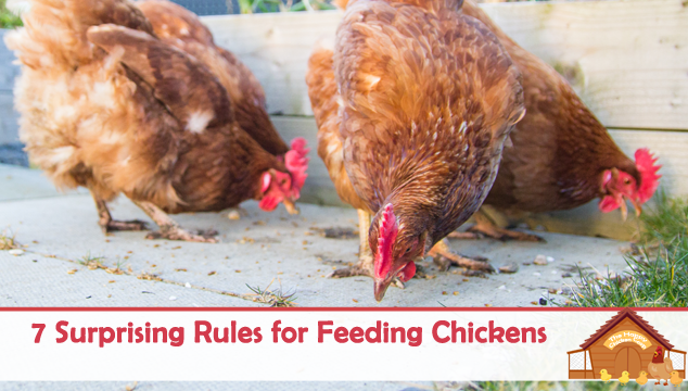 7-Surprising-Rules-for-Feeding-Chickens-Blog-Cover