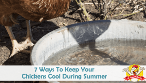 7 Ways To Keep Your Chickens Cool During Summer
