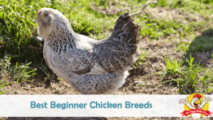 Best Beginner Chicken Breeds