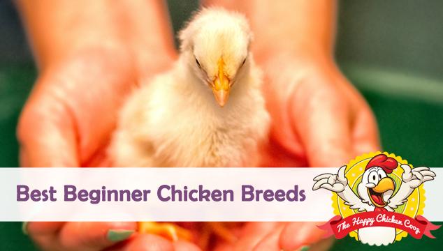 Best Beginner Chicken Breeds Blog Cover