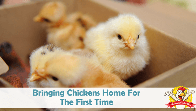 Bringing Chickens Home For The First Time