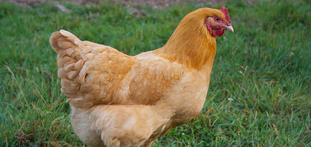Buff Orpington Chicken Breeds
