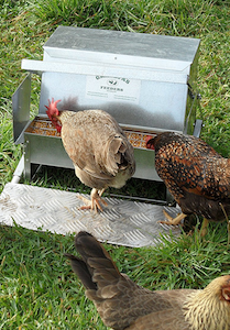Automatic Chicken Feeders: What To Know Before Buying