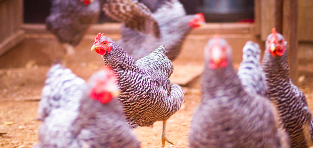 Plymouth Rock Chicken Breeds