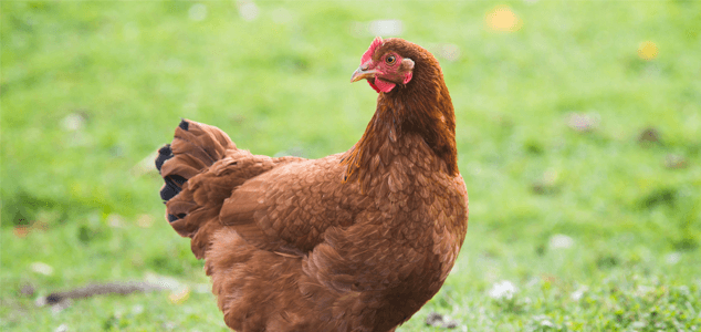 Rhode Island Red Chicken Breeds