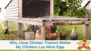Why Using Chicken Tractors Makes My Chickens Lay More Eggs