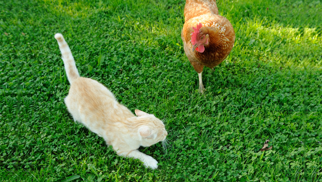 21 Tips: Keeping Your Chickens Healthy And Safe From Predators