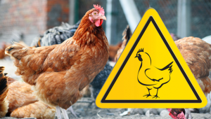 Backyard Chickens and Bird Flu: How to Spot It and Why It Matters