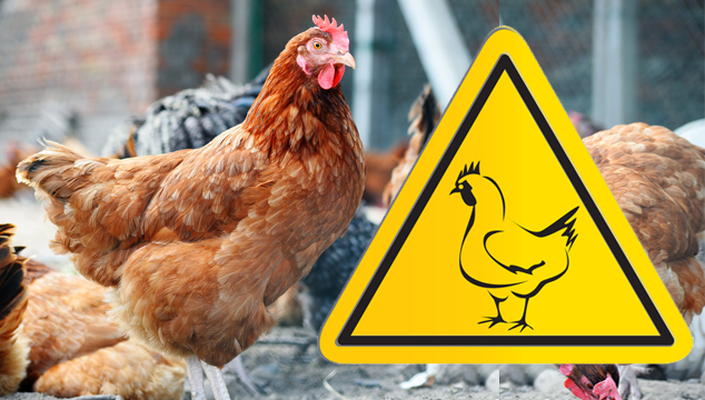 Backyard Chickens and Bird Flu How to Spot It and Why It Matters Blog Cover