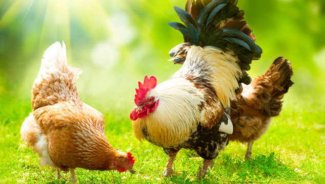 Chicken Feather Loss Cause and Cure Blog Cover