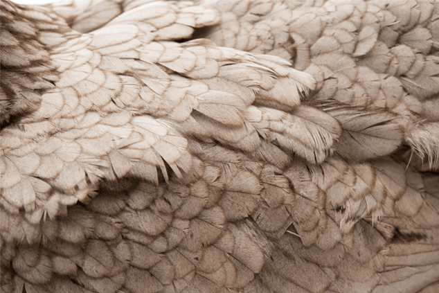 Chicken Feathers From Moult