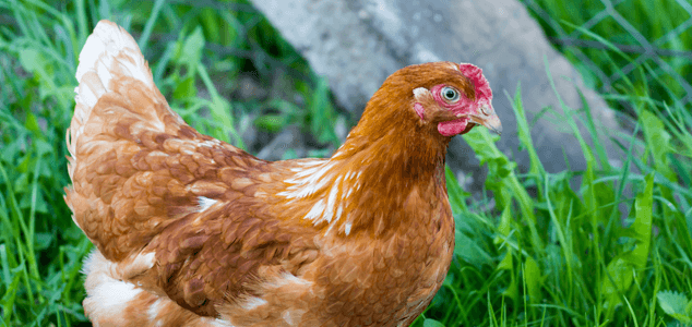 Hybrid Egg Laying Chicken