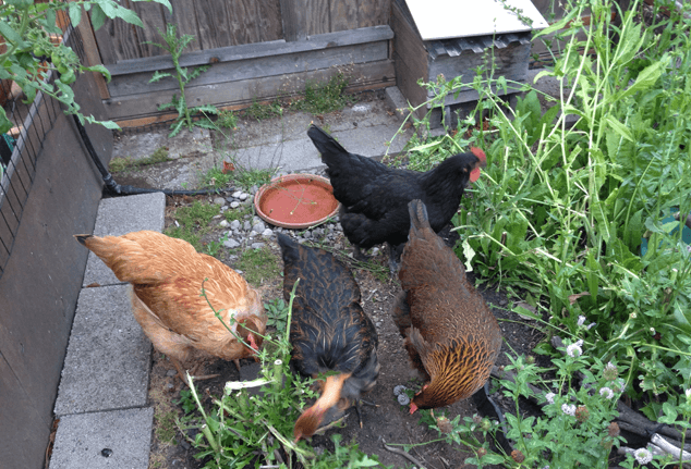 Chickens Eating Vegetables