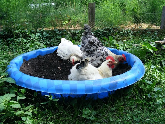 Homemade Chicken Dusting Bath