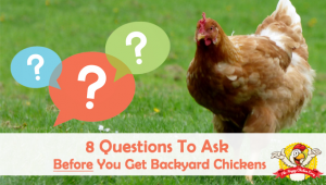 9 Questions To Ask Yourself Before You Get Backyard Chickens