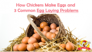 How Chickens Make Eggs and 3 Common Egg Laying Problems