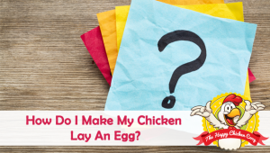 How Do I Make My Chicken Lay An Egg?