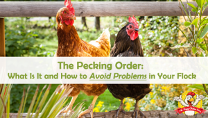 The Pecking Order: What Is It and How to Avoid Problems in Your Flock