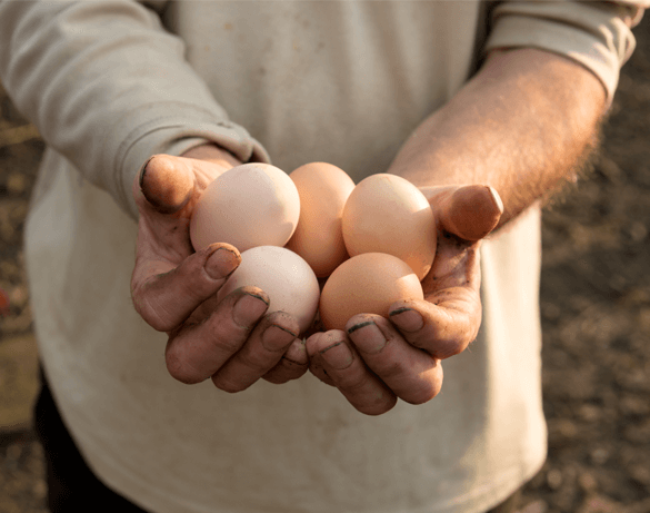 When Do Chickens Lay Eggs Best?