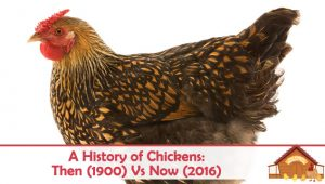 A History of Chickens: Then (1900) Vs Now (2020)