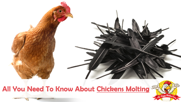 All You Need To Know About Chickens Molting
