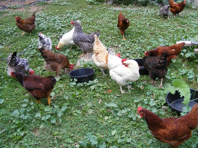 Backyard Chickens Eating