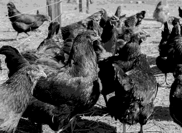 Chickens in 1900s