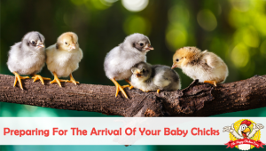 Preparing For The Arrival Of Your New Chicks