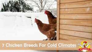 7 Chicken Breeds That Do Well in Cold Climates