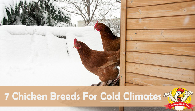 7 Chicken Breeds That Do Well in Cold Climates Blog Cover