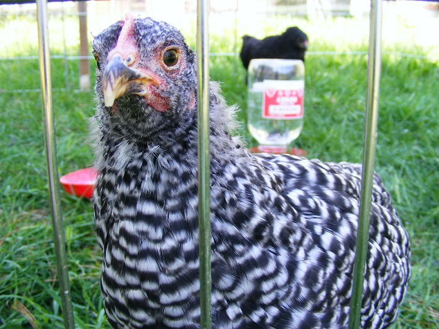 Barred Rock Pullet