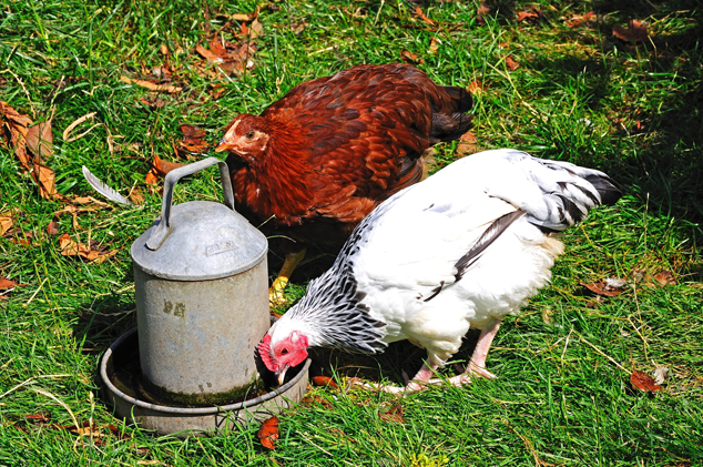 Chickens Drinking