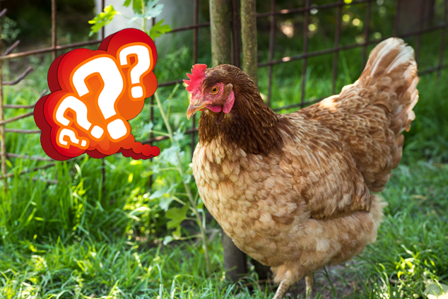 Should Chickens Lay Eggs During Winter