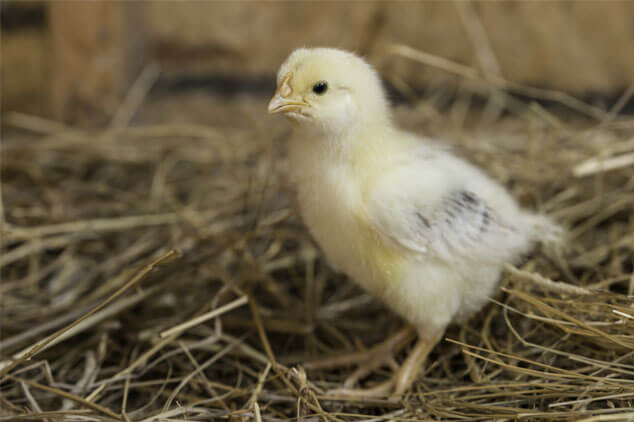 Straw Winter Bedding for Chickens