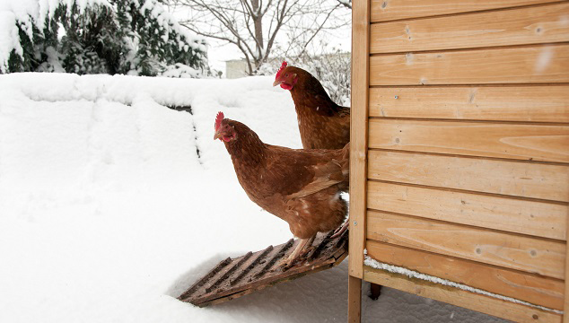 Chickens Out in Snow