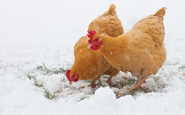 Chickens Rummaging In Snow