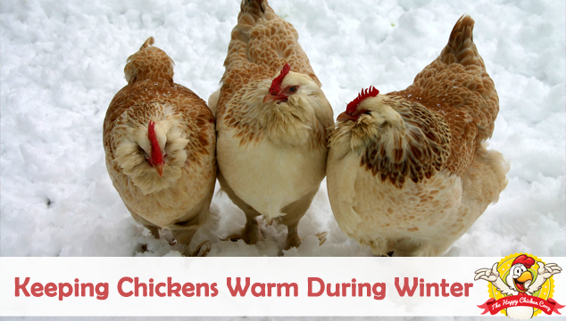 Keeping Chickens Warm During Winter Blog Cover