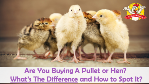 Are You Buying A Pullet or Hen? What's The Difference and How to Spot It?