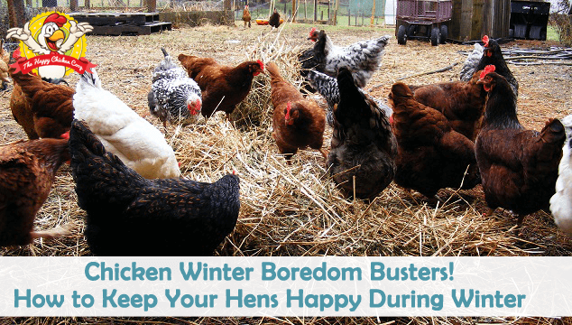 Chicken Winter Boredom Busters! How to Keep Your Hens Happy During Winter Blog Cover