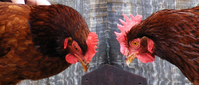 Are You Buying A Pullet or Hen? What's The Difference and