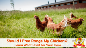Should I Free Range My Chickens? Learn What's Best for Your Hens