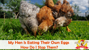 My Hen Is Eating Their Own Eggs. How Do I Stop Them?